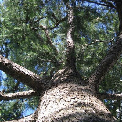 「マツ」は堅くて丈夫。味も出る木材です